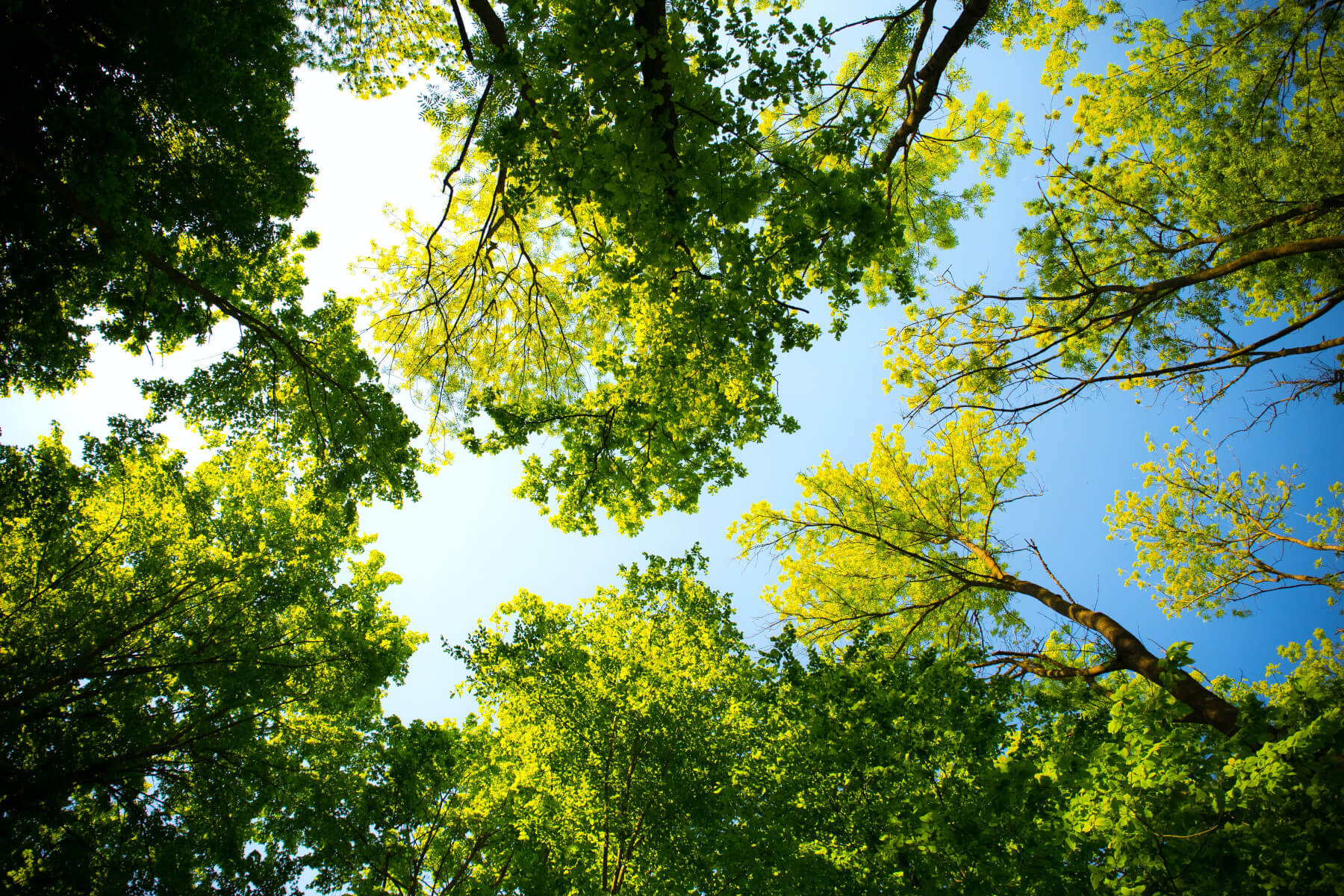 Eco-friendly progress - upward view of trees on blue skies